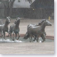 Mustangs running in the rain. Icon sized photo.