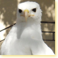 leucistic red tail icon