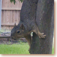 wily squirrel heading head-first down a tree